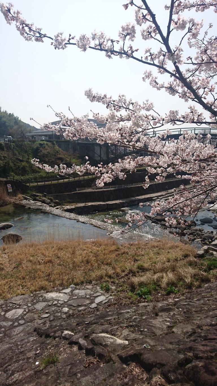 image 桜満開!